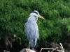 leith-water-heron